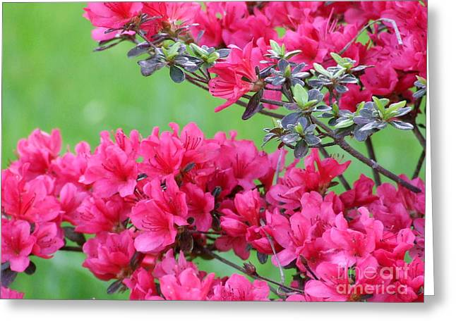 Greeting Card featuring the photograph Azalea by Andrea Anderegg