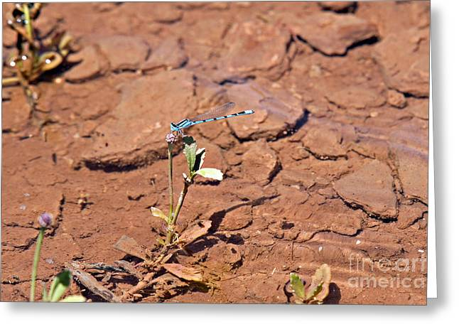 Azure Blue Damselfly Greeting Card
