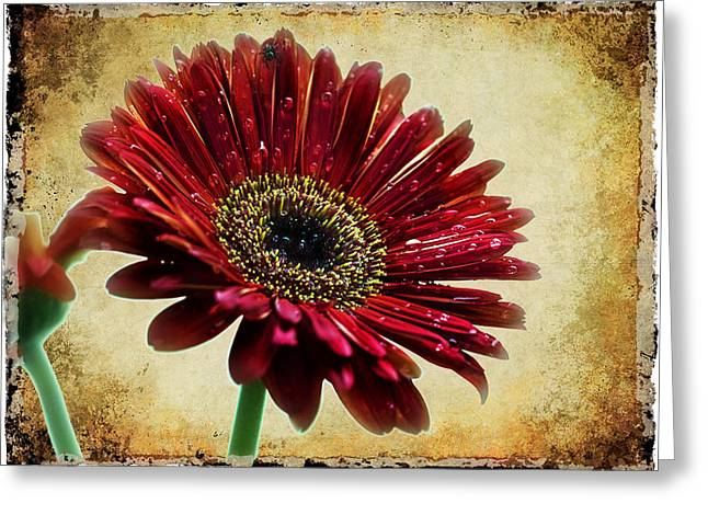 Baberton Daizy Greeting Card by Ronel Broderick