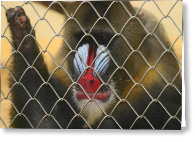 Greeting Card featuring the photograph Baboon Behind Bars by Kym Backland