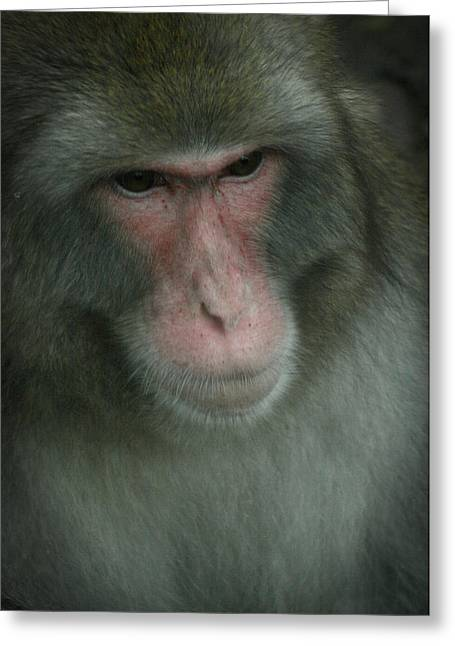 Baboon Greeting Card by Cindy Haggerty