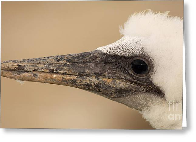 Baby Australasian Gannet Greeting Card by Max Allen