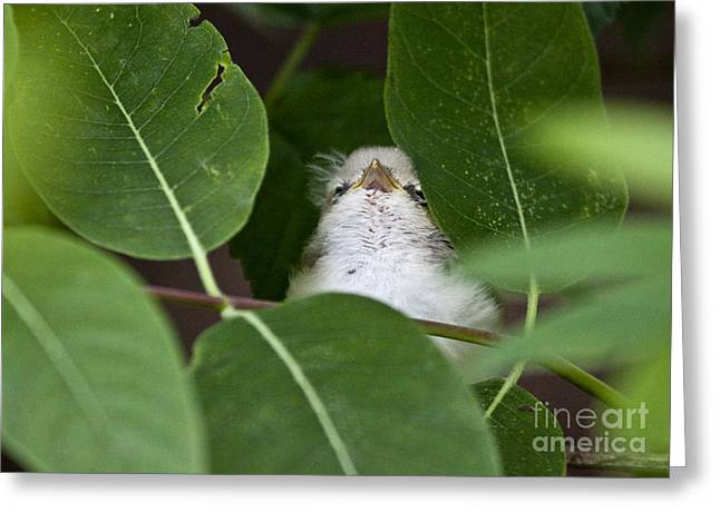Baby Bird Peeping In The Bushes Greeting Card by Jeannette Hunt