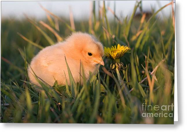 Baby Chick In Green Grass Greeting Card by Cindy Singleton