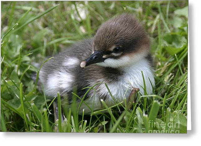 Baby Common Merganser II Greeting Card