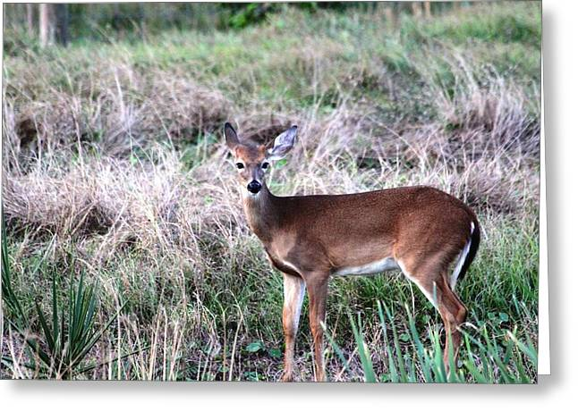 Greeting Card featuring the photograph Baby Deer At Viera by Jeanne Andrews