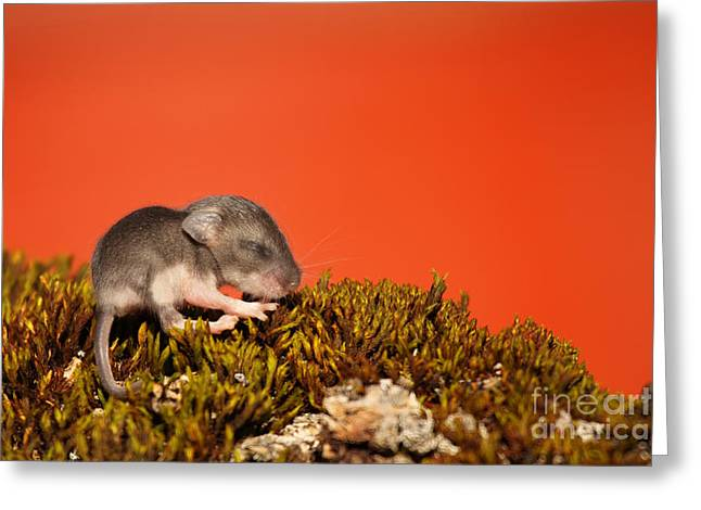 Baby Deer Mouse On Moss Greeting Card by Max Allen