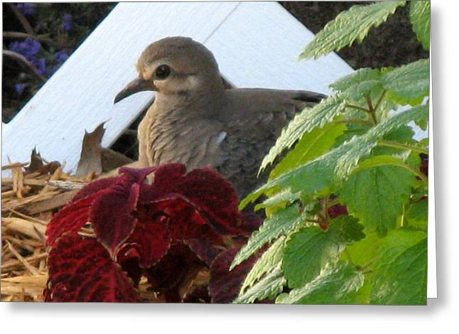Greeting Card featuring the photograph Baby Dove by Kimberly Mackowski