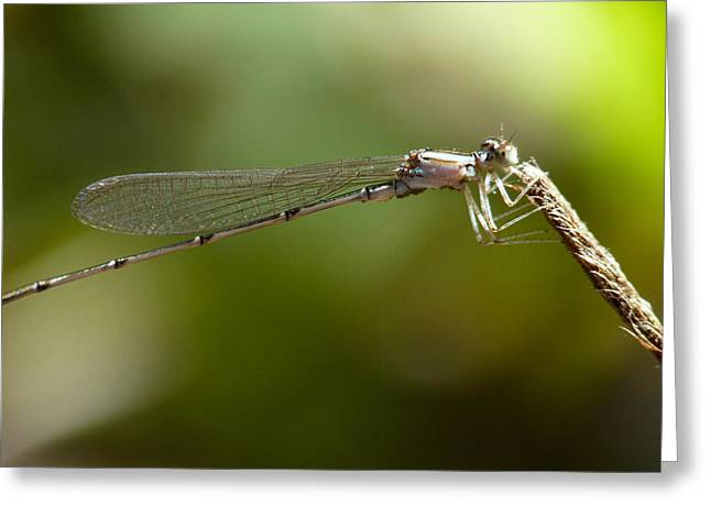 Baby Dragonfly Greeting Card by Terry Eve Tanner