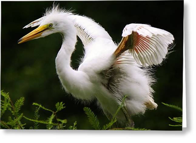 Baby Egret Wings Greeting Card by Paulette Thomas