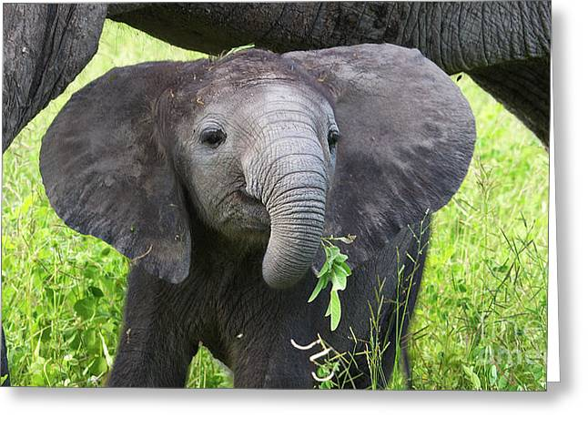 Baby Elephant With A Twig Greeting Card