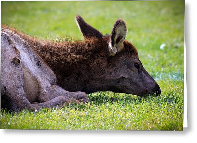 Baby Elk Greeting Card by Steve McKinzie