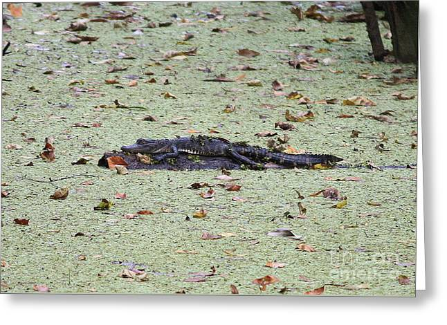 Baby Gator In The Swamp Greeting Card