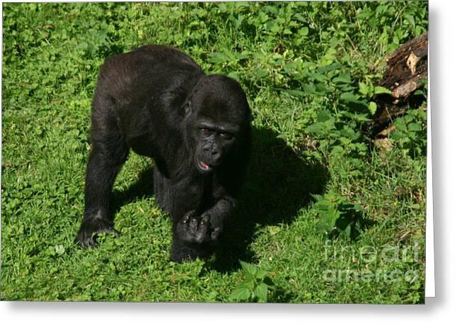 Baby Gorilla Find Own Feet Greeting Card by Carol Wright