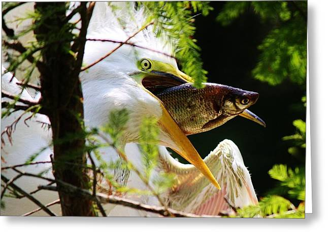Baby Great White Egret With Lunch Greeting Card by Paulette Thomas