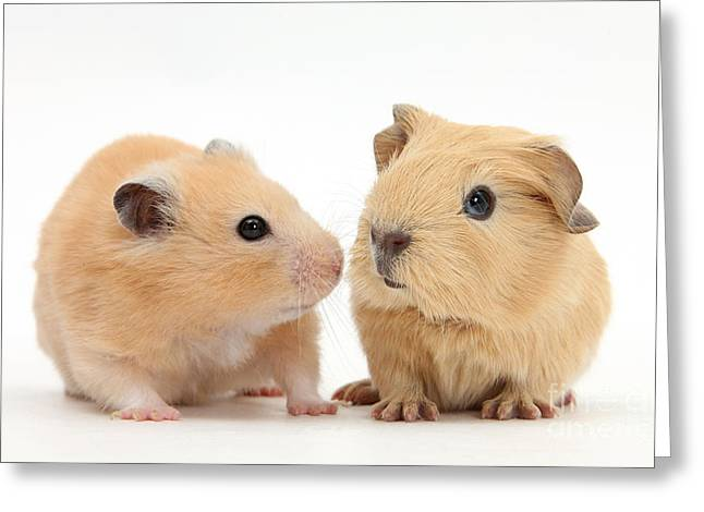 Baby Guinea Pig And Golden Hamster Greeting Card by Mark Taylor