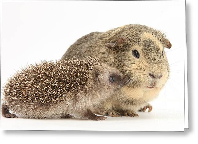 Baby Hedgehog And Guinea Pig Greeting Card by Mark Taylor