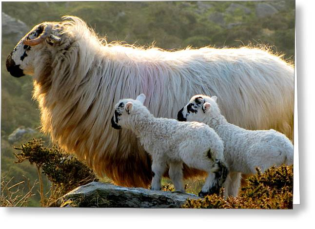 Greeting Card featuring the photograph Baby-lambs by Barbara Walsh