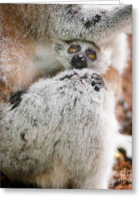 Baby Lemur Greeting Card by Andrew  Michael