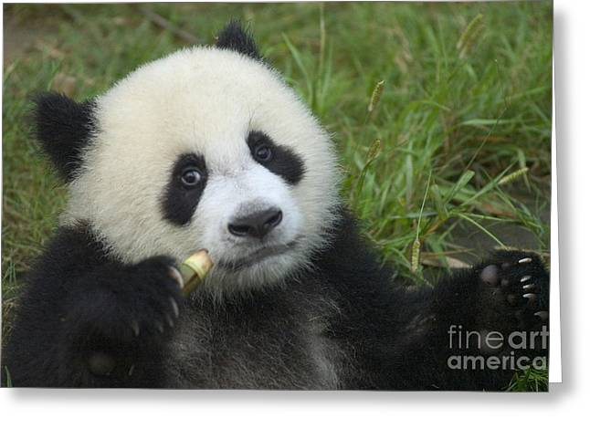 Greeting Card featuring the photograph Baby Panda by Craig Lovell