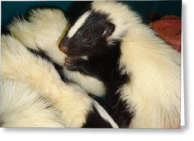 Baby Skunks Greeting Card