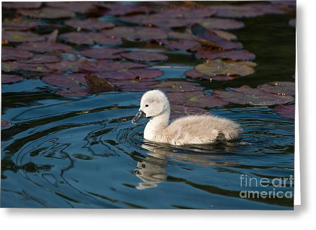 Baby Swan Greeting Card by Andrew  Michael
