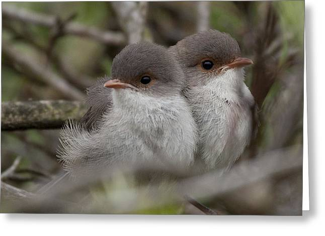 Baby Wrens Greeting Card by Serene Maisey