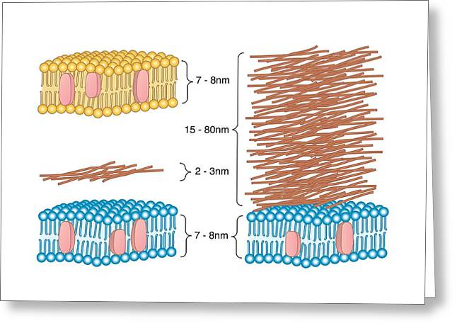 Bacterial Cell Wall Comparison, Artwork Greeting Card by Peter Gardiner