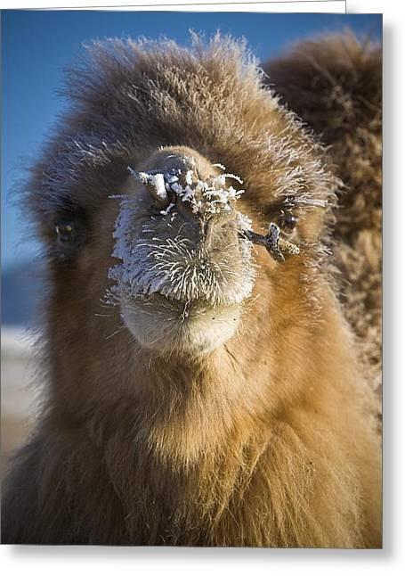 Bactrian Camel Camelus Bactrianus Greeting Card by David DuChemin
