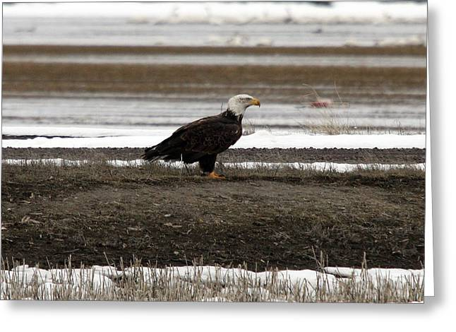 Bald Eagle - 0120 Greeting Card by S and S Photo