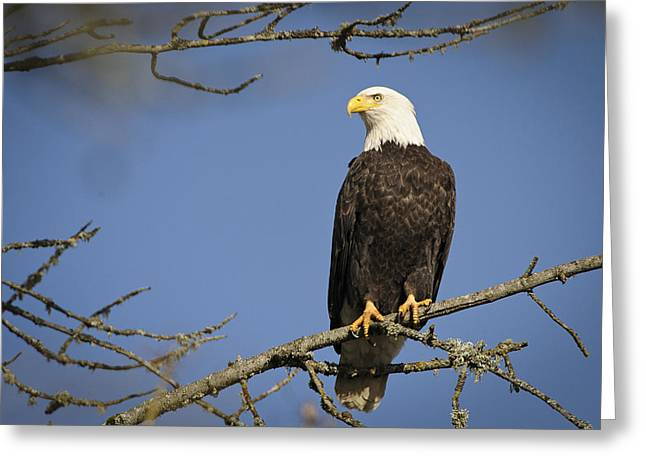 Bald Eagle Greeting Card by Bruce McCammon
