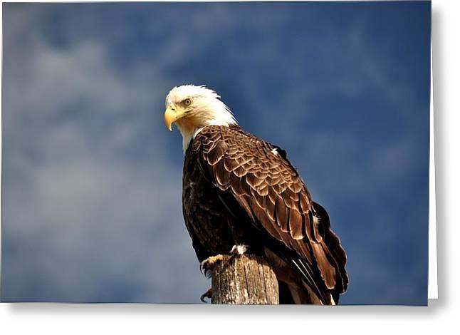 Bald Eagle Homer Alaska Greeting Card by Debra  Miller