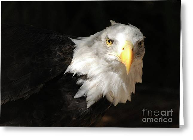 Bald Eagle Greeting Card by Marc Bittan