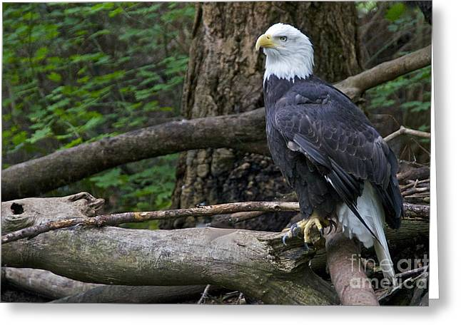 Bald Eagle Greeting Card by Sean Griffin
