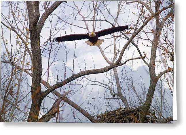 Bald Eagle Soaring Toward Me Greeting Card by J Larry Walker