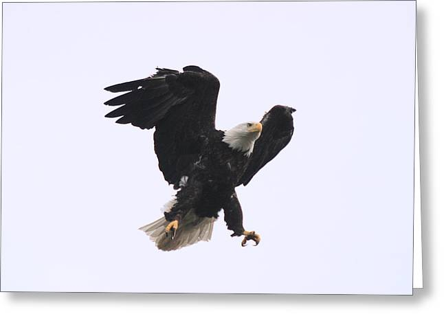 Greeting Card featuring the photograph Bald Eagle Tallons Open by Kym Backland