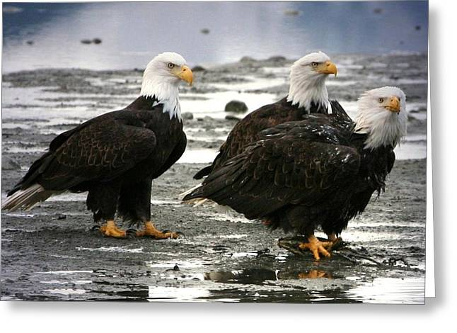 Bald Eagle Trio Greeting Card by Carrie OBrien Sibley