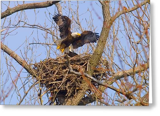 Bald Eagles Nest Greeting Card by J Larry Walker