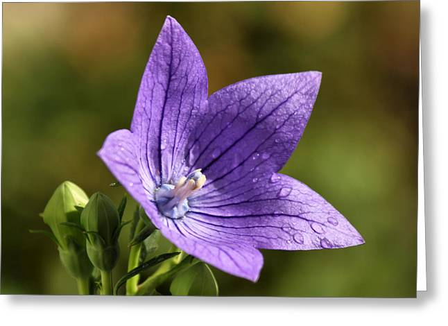 Balloon Flower Greeting Card by Lori Peters
