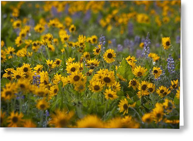 Balsamroot And Lupine Greeting Card