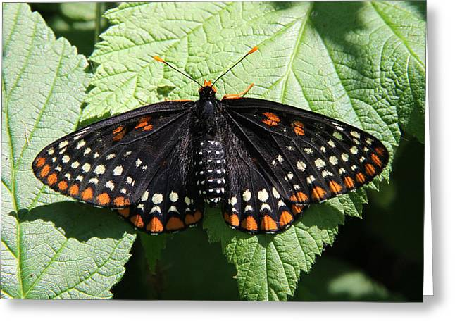 Baltimore Checkerspot Butterfly With Wings Spread Greeting Card
