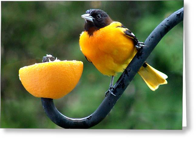 Baltimore Oriole And Orange Greeting Card