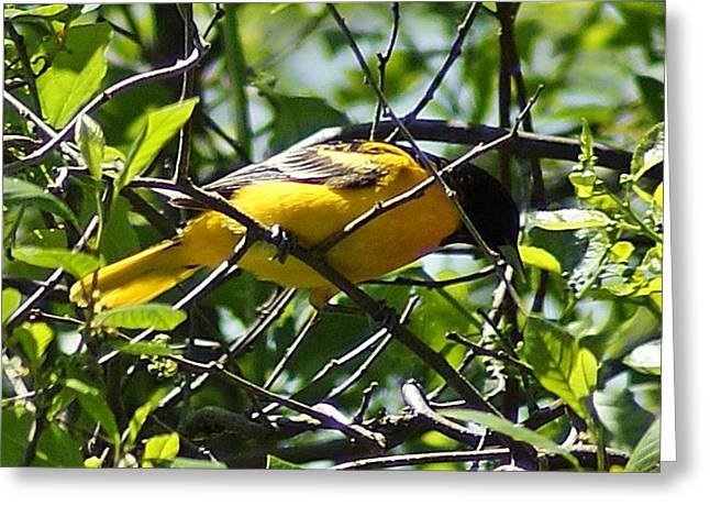 Baltimore Oriole Greeting Card by Joe Faherty