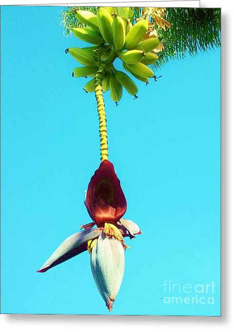 Greeting Card featuring the photograph Banana In Full Bloom by Jasna Gopic