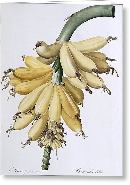 Banana Greeting Card by Pierre Joseph Redoute