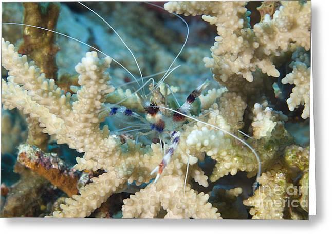 Banded Coral Shrimp Amongst Staghorn Greeting Card by Steve Jones