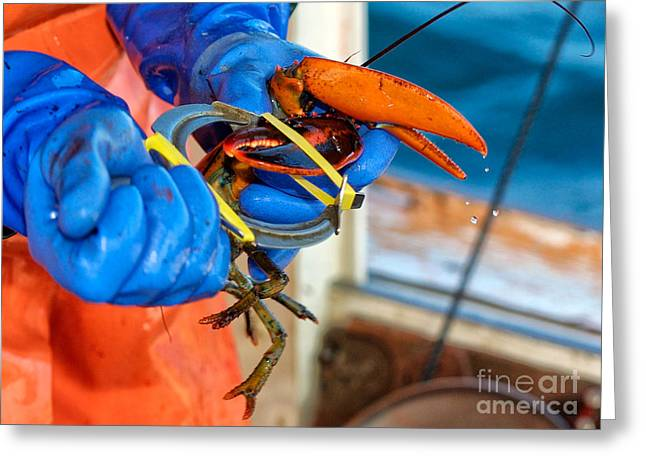 Banding An American Lobster In Chatham On Cape Cod Greeting Card