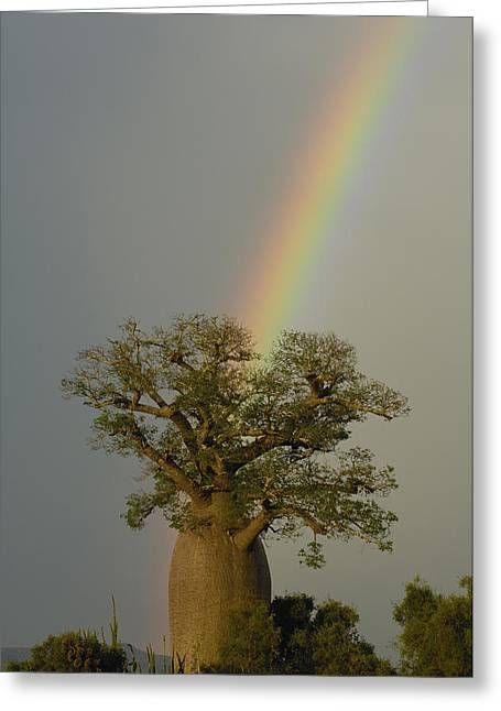 Baobab Adansonia Sp And Rainbow Greeting Card by Pete Oxford