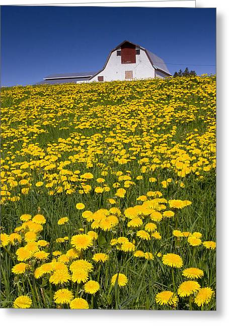 Barn And Dandelions, Brookfield, Prince Greeting Card by John Sylvester