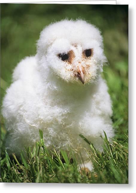 Barn Owl Chick Greeting Card by David Aubrey